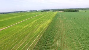 Drone view of corn and soybeans.